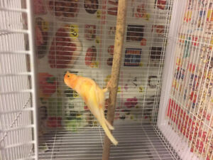 Orange male canary for sale