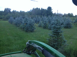 $ 75 - $ 225 * Blue and White Spruce Trees For Sale * Dorchester
