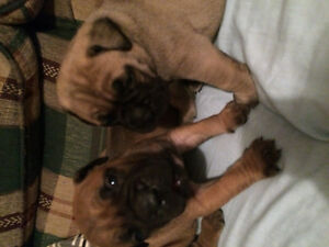 Beautiful bullmastiff for sale