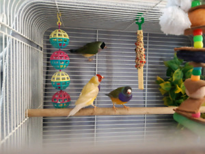 3 Gouldian finches and cage