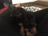 German shepherd X rottweiler puppies