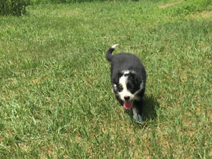 Border collie pups for sale!