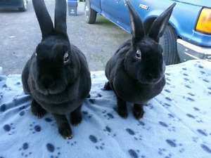 Two female black Mini Rex Rabbits
