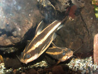 FISH - STRIPED RAPHAEL CATFISH
