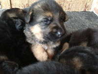PUPS HAVE ARRIVED 4M&4F .ONE PUP LEFT ( female)