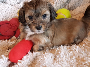 SHWEENIE PUPPIES FOR SALE (SHIH TZU X  DACHSHUND)