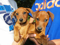 Beautiful, brilliant and incredibly agile German Pinscher pups