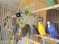 Budgie family