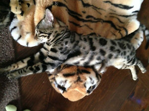 Bengal cat : reserved now your kitten Gatineau Ottawa / Gatineau Area image 7