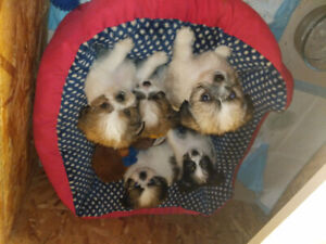 Adorable Chihuahua/Yorkie/Shitzu puppies for sale