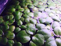 Amazon Frogsbit Floating Aquatic Plant