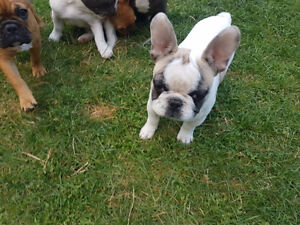 French bulldog puppies ready for loving home