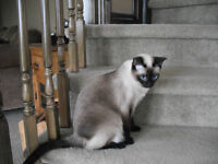 Siamese kittens / appleheads