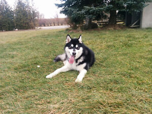 1 year old male Alaskan Malamute