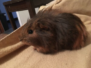 2 young female guinea pigs and cage for free