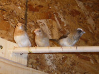 Five Baby Society Finches for Sale