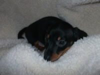 Mini Dachshund Puppies  2 Left