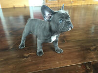 """Beautiful Sunrise"" Adorable Blue French Bulldog Puppy Available"