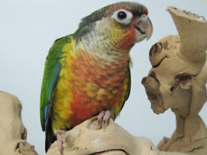 Baby Conure Available & Quaker babies in nest