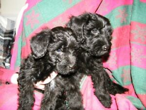 Yorkie Poodle puppies