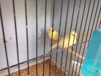 Roller canaries