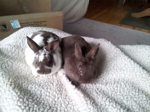 Pure Mini Rex baby Rabbits for Sale