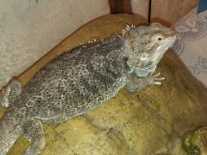 Female bearded dragon and set up