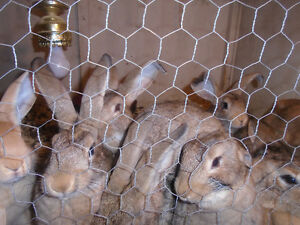 young teenage rabbits