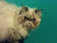 Lynx point Himalayan for sale