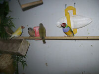 BEAUTIFUL GOULDIAN FINCHES READY TO GO