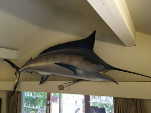 Marlin, beautifully mounted, perfect condition
