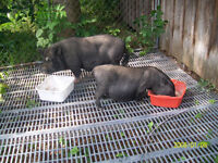 POT BELLY PIGS