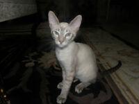 Bengal / snow lynx kitten