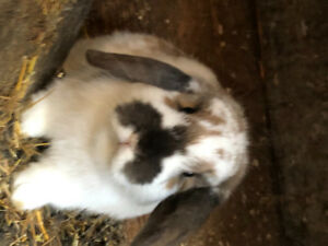 Beautiful pair of holland lop rabbits. Buck and doe