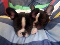 Pied French bulldogs