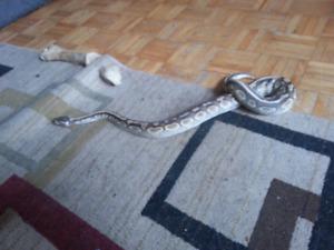 Butter python