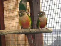 CONURE Red Factor Yellow Sided pr + Pineapple Conure pr