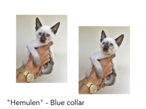 1 Purebred Classic Siamese boy - Apple head Seal Point