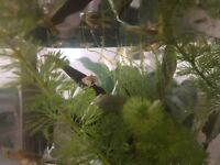 Baby guppies for sale