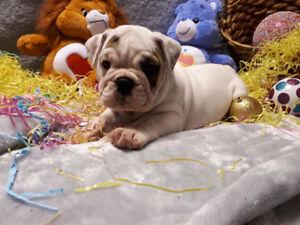 English Bulldog Puppies CKC Registered