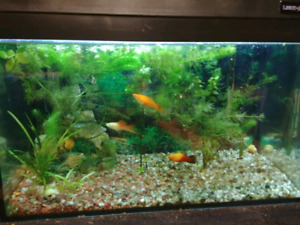 10G Fish tank with fish, big snails and accessories