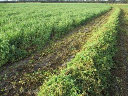 Pea Hay - Cheap, Quality Lucerne Substitute; & Oaten Hay Squares