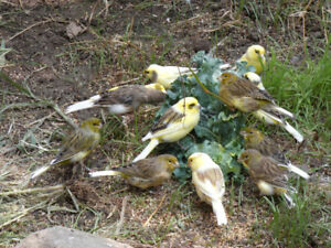 Canaries for rehoming