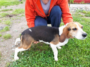 4 Year Old Female Beagle