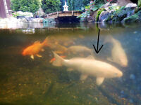 """Want a 17"""" white Jap.Koi trade you for a 13""""koi with red"""