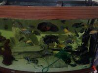 Cichlids oscars green terror more inc 4ft juwel bowfront tank