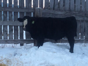 Yearling Simmental bulls for sale