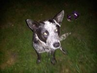 Year old heeler for sale