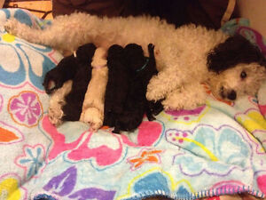 Beautiful toy poodle puppies- need forever homes!!