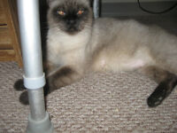 CHOCOLATE POINT SIAMESE FEMALE